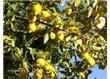 Bu kadar pahalı olan limonun faydalarını biliyor musunuz?
