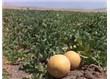 Cennetten gelen meyve Kavun sağlığımıza faydaları…