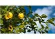 Yaz aylarını serinleten 'Limonata' yı limon  ağacından dinleyelim!!!