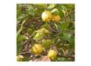 34,5 milyon adet limondan bugüne…