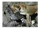 Dişi Aslan'ın zebra taktiği