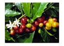 Çekirdekteki sır, kahve…