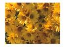 Nişantaşı'nın mobil çiçekçilerinden ''karanfil oylum oylum''