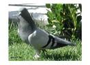 Mahsun bakıslı güvercinin son bakısı
