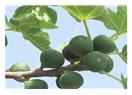 Basur ve incir ağacı