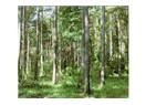 Ağaçlandırmayla orman oluşur mu?