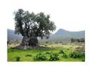 Zeytin ağacının öyküsü