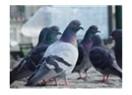 Güvercinler babasız kaldı.