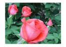 Mezarlık Gülleri
