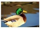 Yeşil ördek gibi daldım göllere (Sen düşürdün beni dilden dillere...ne sen beni unut ne de ben seni)