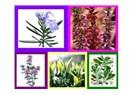 Beşli mucize bitki ve biberiye