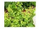 Her bitkinin olduğu gibi aslan pençesi bitkisinin faydası