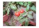 Balkonda saksı tarımı; hobiden zarurete