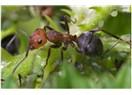 Karınca ve sevgi