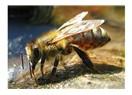 Arıların Alemi !