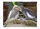 Aşık papağanlar