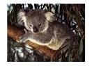 Ulu Okaliptus Ağaçları
