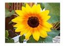 Günebakan çiçeğim