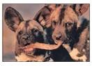 Musa'nın cebbar köpekleri