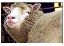 Klonlanmış hayvanın eti yenilir mi?