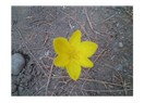Anadolu Kağnısı / Sordum Sarı Çiçeğe