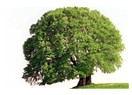 Ceviz ağacı ve ben.