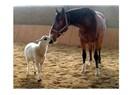 Atlar mükemmel hayvanlar...
