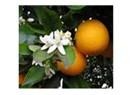 Portakal çiçeği ve kadın