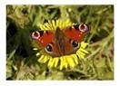 Kelebeklerin Eşsiz Özellikleri !..