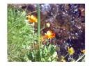Uludağ'ın keşfedilmeyi bekleyen gülleri