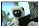 Madagaskar Hayvanları