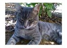 Efsane kedi Siyami