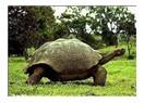 Galapagos Kaplumbağası