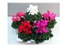 GDO'nun son marifeti; kokusu değişebilen çiçekler