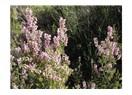 Toroslar'ın aykırı çiçeklerinden püren
