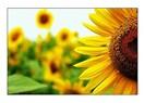 Günebakan çiçeği gibi...