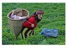 Çay üreticisinin başına gelmekte olanlar....