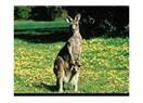 "İlginç ""Kanguru"""