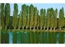 Kavak ağacı ve kabak