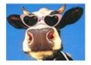 Süt ineklerinin kasaba gitmesine niçin üç ay kaldı?