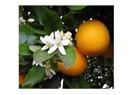 Kadınlar ve portakal çiçekleri