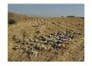 300 koyun ülkeye nasıl girdi?