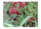 Pembe domatesler