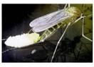 Sivrisinekler Yumurtlama Dönemlerini Yağmurlara Göre Ayarlamaktadırlar