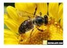 Kır çiçeğiyle bal arısının hikayesi