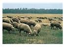 Koyunlar, sığırlar ve et