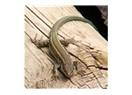 On yıl boyunca ayağından çivilenerek ahşap içinde çivili kalan kertenkelenin öyküsü