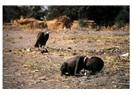 Aç çocuk ve onun ölmesini bekleyen aç akbaba!...
