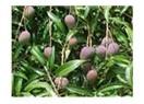 Hendekte Mango festivali yapacağız!