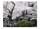 Sakura ağacı ...